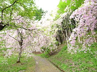 半田山の桜