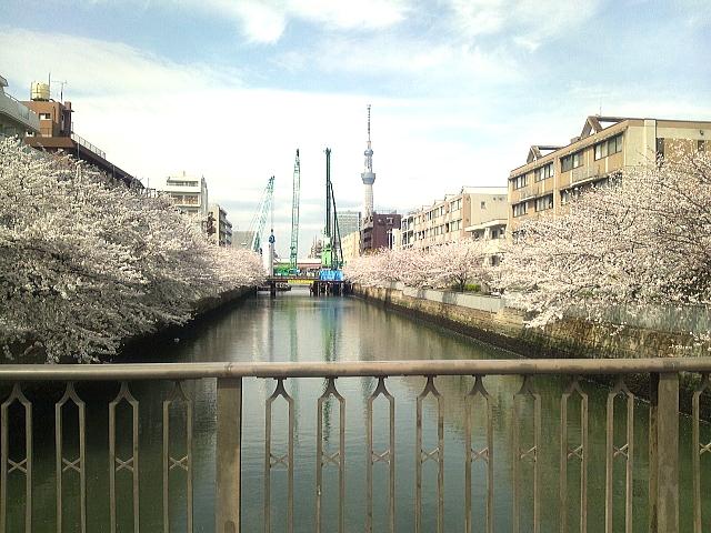 菊川橋からのさくら