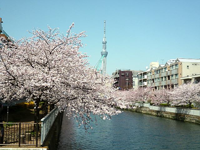 菊川橋からの桜