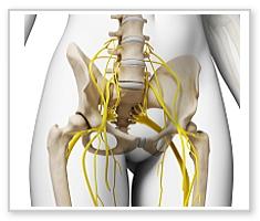 腰周辺の神経