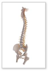 背骨や骨盤の歪み